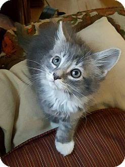 Domestic Mediumhair Kitten for adoption in Nashville, Tennessee - Popple