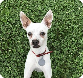 Chihuahua/Italian Greyhound Mix Dog for adoption in Fishers, Indiana - Ghost