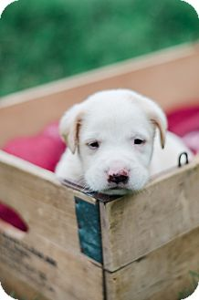 Golden Retriever Mix Puppy for adoption in Seneca, South Carolina - Ashton $250