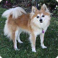 Adopt A Pet :: GARBANZO - Newport Beach, CA