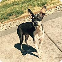 Adopt A Pet :: Popi - Bellingham, WA