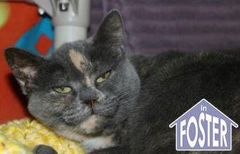 Domestic Shorthair/Domestic Shorthair Mix Cat for adoption in Ann Arbor, Michigan - Cammie