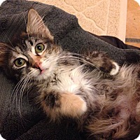 Maine Coon Kitten for adoption in Los Angeles, California - Amelie