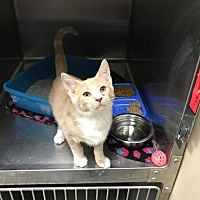 Adopt A Pet :: Creamsicle - Beckley, WV