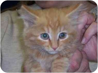 Maine Coon Kitten for adoption in Arlington, Virginia - Taz
