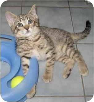 Domestic Shorthair Kitten for adoption in North Highlands, California - Oakley
