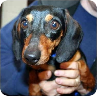 Dachshund Mix Dog for adoption in Homer, New York - Ryker
