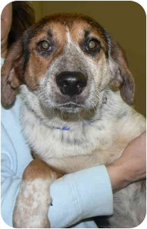 Beagle Mix Dog for adoption in Gallatin, Tennessee - Melanee Marie