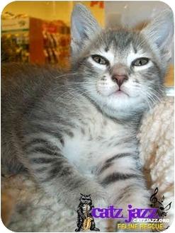 Domestic Shorthair Kitten for adoption in Cedar Creek, Texas - Sessa