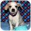 Photo 4 - Spaniel (Unknown Type)/Terrier (Unknown Type, Small) Mix Puppy for adoption in Broomfield, Colorado - Piglet