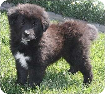 Chow Chow/Shepherd (Unknown Type) Mix Puppy for adoption in Las Vegas, Nevada - Bowen