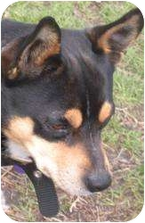 Manchester Terrier Mix Dog for adoption in Sacramento, California - Chutney