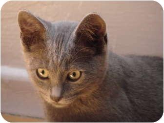 Russian Blue Kitten for adoption in Davis, California - Moritz