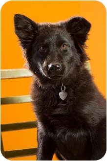 Labrador Retriever/Border Collie Mix Puppy for adoption in Portland, Oregon - Suede