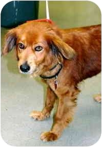Spaniel (Unknown Type) Mix Dog for adoption in Los Angeles, California - Kimber