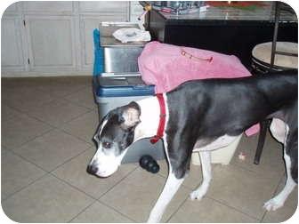 Great Dane Dog for adoption in Phoenix, Arizona - China