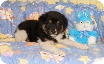 Australian Shepherd Mix Puppy for adoption in Oswego, Illinois - Sonny