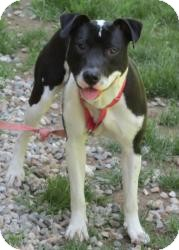 Labrador Retriever/Pit Bull Terrier Mix Dog for adoption in Bloomfield, Connecticut - Mraz
