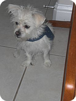 Terrier (Unknown Type, Small) Mix Dog for adoption in Rescue, California - Maci
