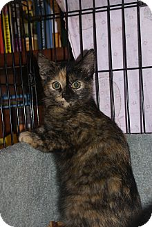 Domestic Shorthair Kitten for adoption in Portland, Maine - Mystique