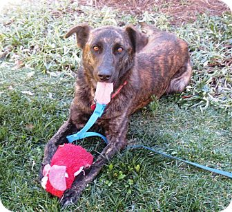 Dutch Shepherd/Labrador Retriever Mix Dog for adoption in Torrance, California - KATIE