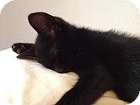 Domestic Mediumhair Kitten for adoption in Tampa, Florida - Simon