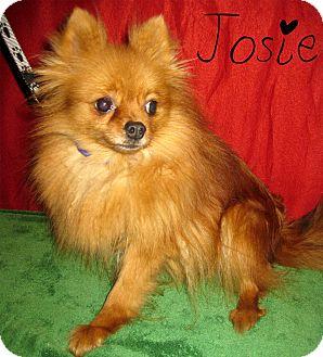 Pomeranian Dog for adoption in Prole, Iowa - Josie