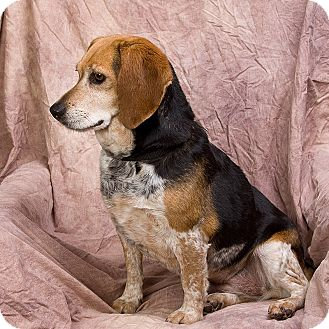 Beagle Dog for adoption in Anna, Illinois - HONEY