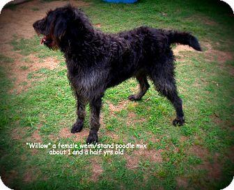 Weimaraner/Poodle (Standard) Mix Dog for adoption in Gadsden, Alabama - Willow
