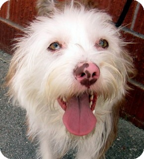 Terrier (Unknown Type, Small) Mix Dog for adoption in Los Angeles, California - Darwin *VIDEO*