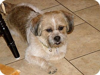 Lhasa Apso/Shih Tzu Mix Dog for adoption in Mentor, Ohio - BASIL - 21 pounds