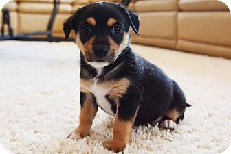 Terrier (Unknown Type, Small) Mix Puppy for adoption in Las Vegas, Nevada - King & Mohawk