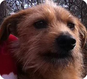 Cairn Terrier/Toy Fox Terrier Mix Dog for adoption in Evans, Georgia - Freddy