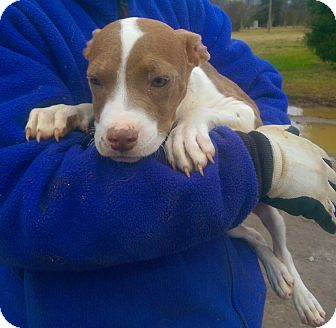 Pit Bull Terrier Mix Puppy for adoption in Moulton, Alabama - Angel