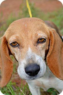 Beagle Dog for adoption in Washington, Georgia - Bunny