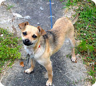 Dachshund/Pug Mix Dog for adoption in FOSTER, Rhode Island - Effie