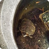 Turtle - Other for adoption in Greenfield, Indiana - Big Bertha