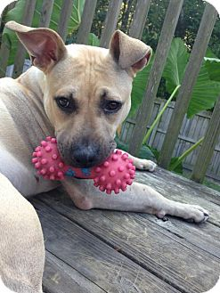 American Pit Bull Terrier Mix Dog for adoption in Fulton, Missouri - Suitcase - North Carolina