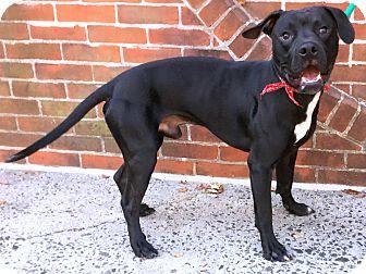 Pit Bull Terrier Mix Dog for adoption in Philadelphia, Pennsylvania - Duke