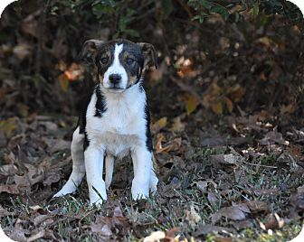 Shepherd (Unknown Type) Mix Puppy for adoption in South Dennis, Massachusetts - Rossi