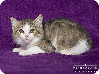 Maine Coon Kitten for adoption in Nashville, Tennessee - Peter
