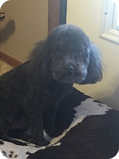 Poodle (Toy or Tea Cup)/Miniature Poodle Mix Dog for adoption in Weatherford, Texas - *Virgil*