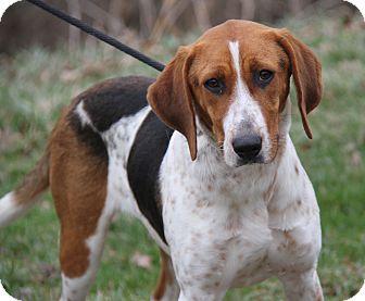 Treeing Walker Coonhound Mix Dog for adoption in Marietta, Ohio - Olivia (Spayed)