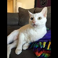 Adopt A Pet :: Ivory - Arlington, VA