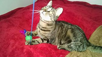 Domestic Shorthair Cat for adoption in Bayside, New York - SHEBA