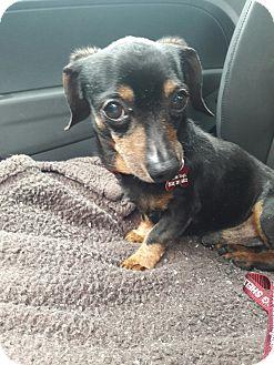 Dachshund/Chihuahua Mix Dog for adoption in Salem, Oregon - Goose