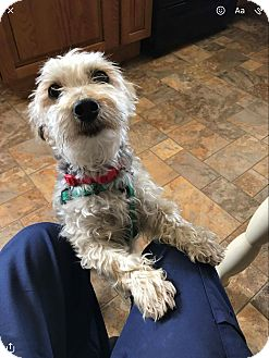 Yorkie, Yorkshire Terrier Mix Dog for adoption in Red Lion, Pennsylvania - Butch