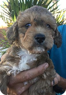 Shih Tzu/Maltese Mix Puppy for adoption in Corona, California - Miss Cecilia Bartoli, Princess