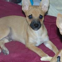 Adopt A Pet :: Charger - Las Cruces, NM