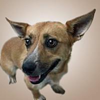 Adopt A Pet :: Mango - Prescott, AZ